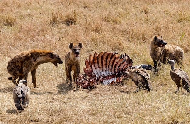 タンザニアのセレンゲティ国立公園で死んだ動物を食べるハイエナ