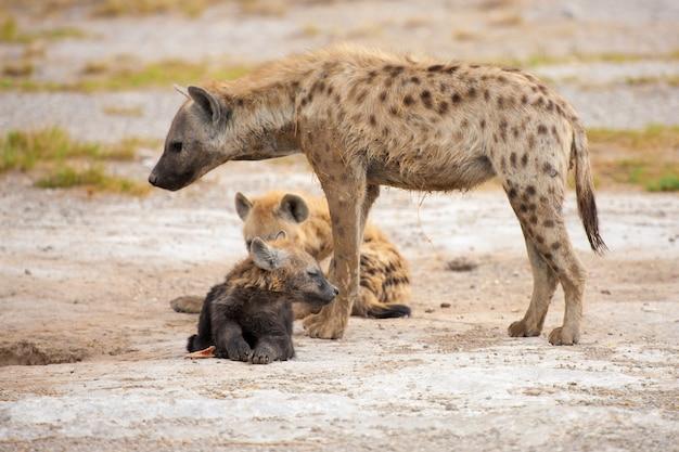 Гиены в саванне кении, на сафари