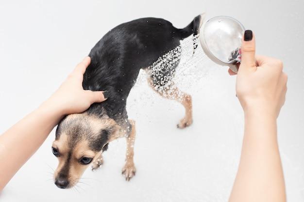 動物の衛生。女性の手がバスルームで小さな犬のおもちゃのテリアを洗う