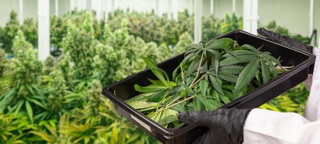 약을 만들기 위해 의학 연구소에서 제어 농업에서 대마초 꽃을 수확하는 위생 장갑 손 (경로 포함)