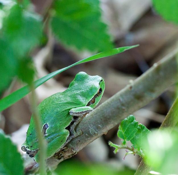 Hyla arborea, european tree frog