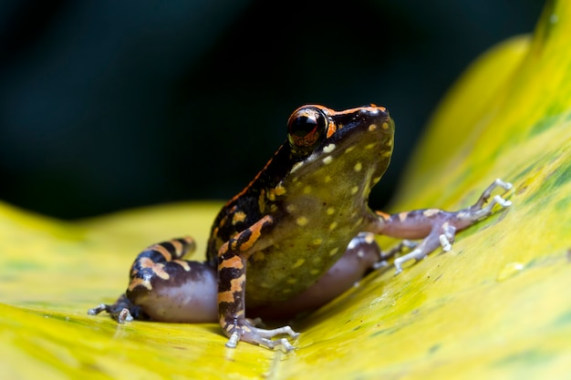 Hylarana picturata frog closeup on yellow leaves indonesian tree frog