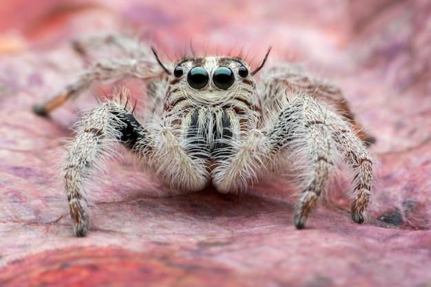 Прыгающий паук hyllus