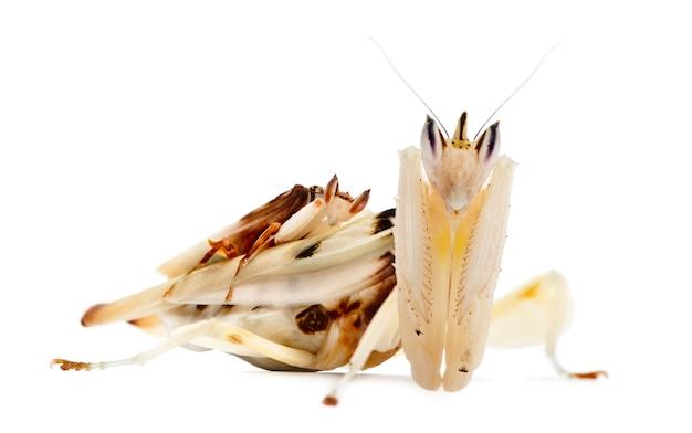 Мужчина и женщина hymenopus coronatus также известны как малайзийская орхидея богомол или малайзийская орхидея богомол или розовая орхидея богомол и орхидея богомол