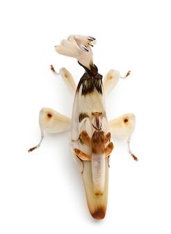 Hymenopus coronatus мужского и женского пола, малазийская орхидея богомола,