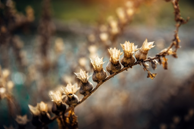 Hyoscyamus niger, henbane, black henbane or stinking nightshade. dry flowers with seeds on blurry background in sunlight. natural backdrop.