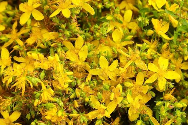 Hypericumperforatumまたはセイヨウオトギリソウの花畑