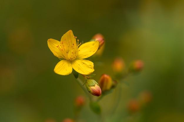 細いセントジョンズワートhypericum pulchrum。黄色の花とつぼみ。ヤマボウシ科。