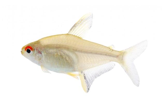 Hyphessobrycon bentosi рыбы на белом изолированные
