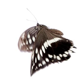 Бабочка hypolimnas болина в на белом изолированные