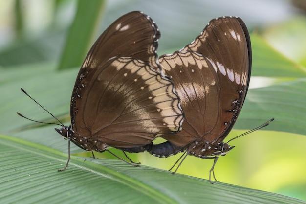 庭のハイブリッドグレートエッグフライhypolimnas bolina jacintha蝶の蝶。蝶は自然の中で繁殖しています。