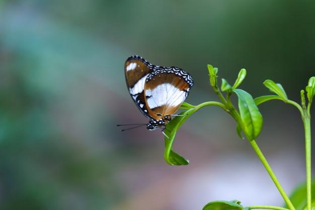 Hypolimnas bolinaは、花の植物の上で休んでいる大きなメスアカムラサキまたは青い月の蝶