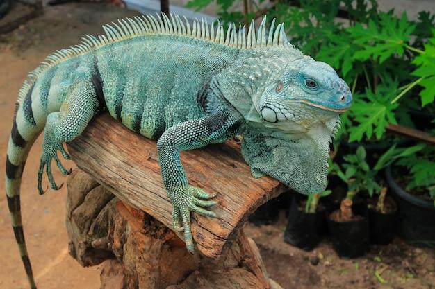 Hypomelanistic morph iguana