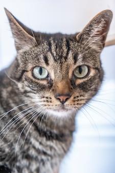 나는 가정에서 귀중한 위에 파란 눈을 가진 회색과 흰색 고양이의 인상적인 모습. 남자의 가장 친한 친구, 최고의 동물, 소중한 고양이.
