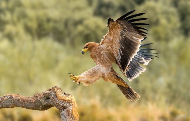 Iberian imperial eagle in the nature