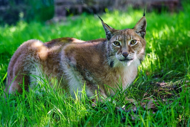 Iberian lynx looking at camera while resting on the grass.