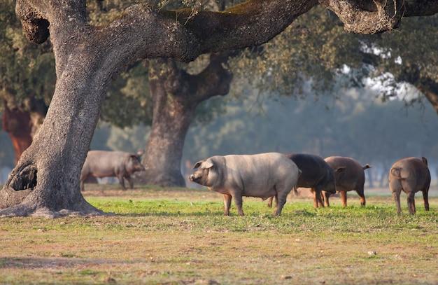 Iberian pigs grazing