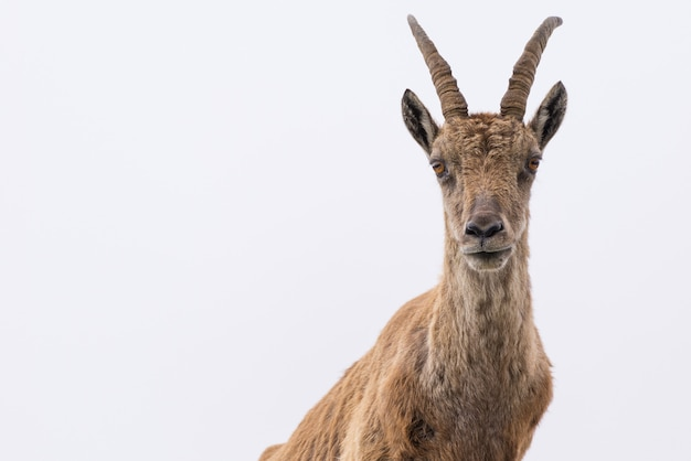 Ibex looking at camera against white cloudy sky