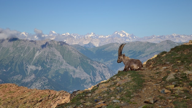 Ibex in scenic mountain view, wildlife on the alps