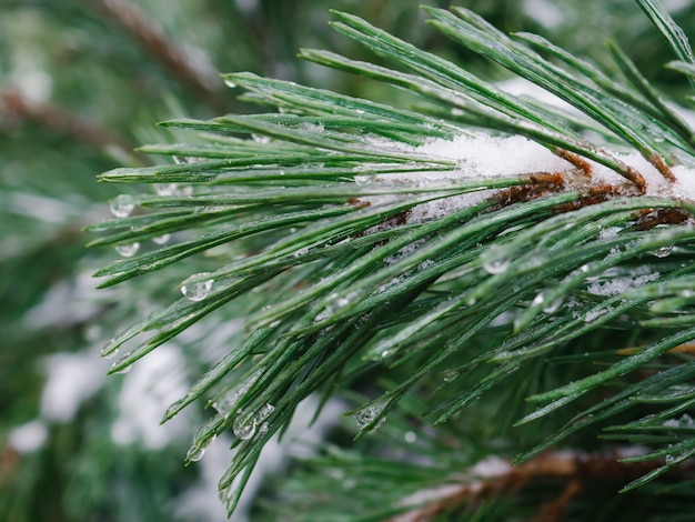 Ice covered pine branches in winter. blurred fir tree branches covered with snow. winter snowy pine tree christmas scene.