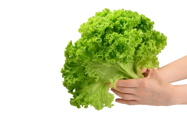 Iceberg lettuce in woman hands isolated on white background.
