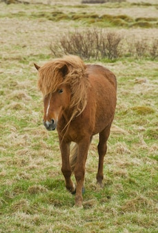 Исландские лошади пони
