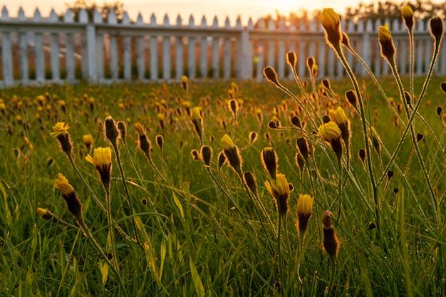 Paesaggio islandese di bellissimi fiori da giardino