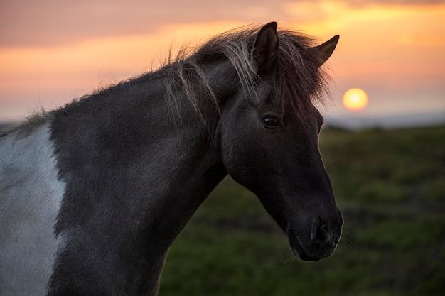 Iceland landscape of beautiful stallion