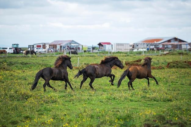 Iceland landscape of beautiful stallions