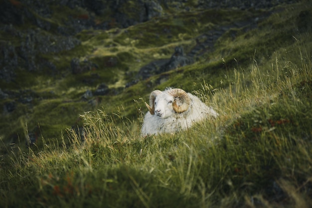 Iceland sheep on a grass field