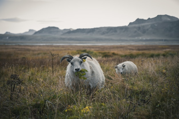 Iceland sheeps in the field