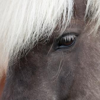 Icelandic horse, closeup eye