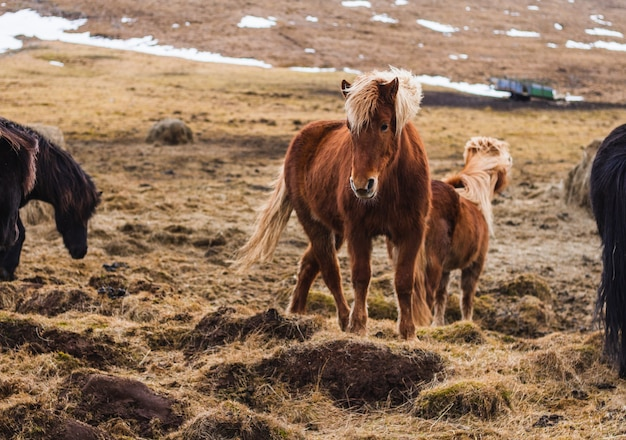 雪とアイスランドの日光の下で草で覆われたフィールドにアイスランドの馬