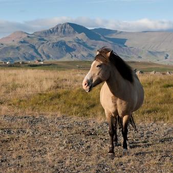 牧草地、背景の山のアイスランドの馬