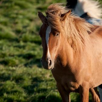 牧草地のアイスランドの馬