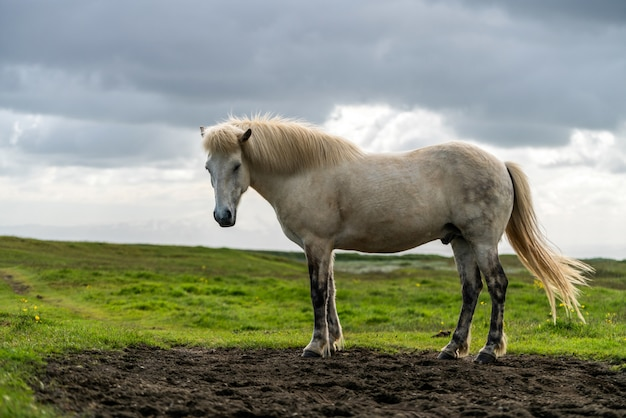 Icelandic horse in scenic nature of iceland