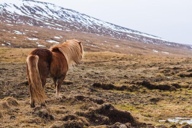 アイスランドのぼやけた雪に覆われたフィールドを歩くアイスランドの馬