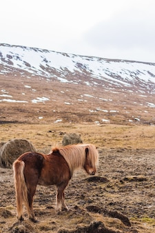 Icelandic horse walking through a field covered in the snow