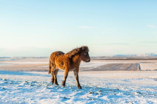 Icelandic horse walks in the snow in winter. icelandic winter landscape