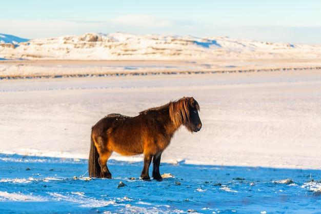 Icelandic horse walks in the snow in winter.