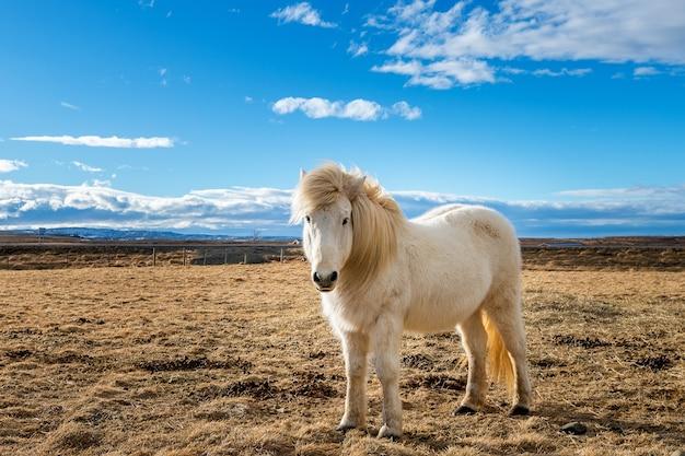 Исландская лошадь. белая лошадь.