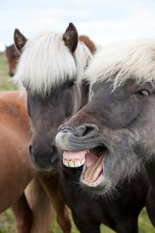 歯が見えるアイスランドの馬