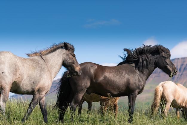 Исландские лошади и красивый пейзаж
