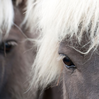 Icelandic horses , closeup of eye
