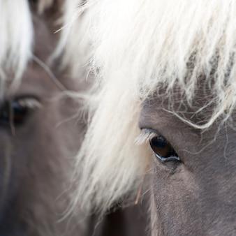 アイスランドの馬、目の接近