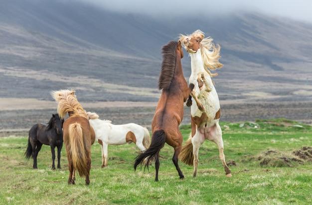 アイスランドの馬の戦い