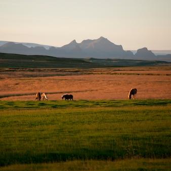 산 전에 목초지에서 방목하는 아이슬란드 말