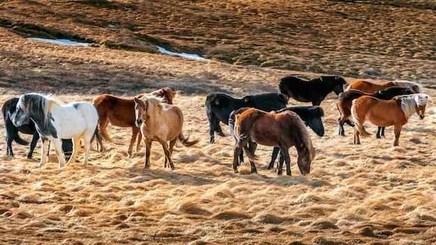 Исландские лошади. группа лошадей.