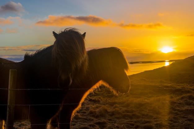 アイスランドの馬は、日の出のゴールデンアワーに太陽の逆光で撃たれました。
