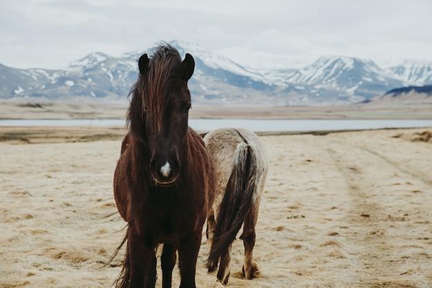フィールドのアイスランドの馬